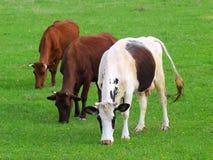 Коровы на поле Стоковая Фотография RF
