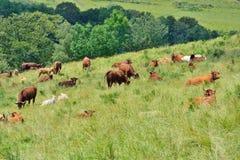 Коровы на поле Стоковые Изображения