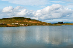 Коровы на поле Стоковое фото RF