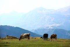 Коровы на поле Стоковая Фотография