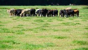 Коровы на поле Стоковые Изображения RF