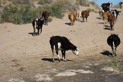 Коровы на пылевоздушной дороге Стоковое Фото
