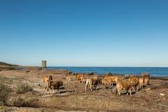 Коровы на пляже в Корсике с Genoese башней в предпосылке Стоковое Фото
