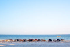 Коровы на пляже Занзибара Стоковые Фото
