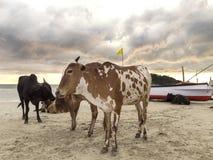 Коровы на пляже на заходе солнца, GOA в Индии Стоковая Фотография