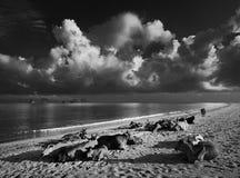 Коровы на пляже острова Langkawi Стоковые Изображения RF