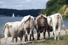 Коровы на пляже Стоковые Изображения