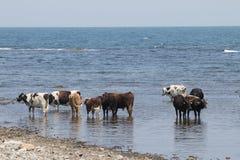 Коровы на пляже Стоковые Фото