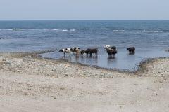 Коровы на пляже Стоковое Изображение