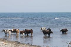 Коровы на пляже Стоковая Фотография RF