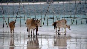 Коровы на пляже Bira Сулавеси Bara Стоковые Изображения RF