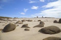 Коровы на пляже, St Agnes, острова Scilly, Англии Стоковое фото RF