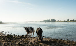 Коровы на речном береге в подсвеченном Стоковые Изображения