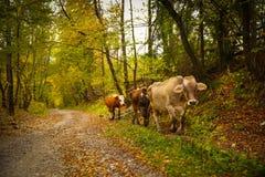 Коровы на сельской дороге в Bucovina Стоковое Фото