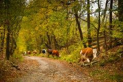 Коровы на сельской дороге в Bucovina Стоковая Фотография