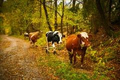 Коровы на сельской дороге в Bucovina Стоковое Изображение RF