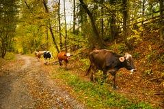Коровы на сельской дороге в Bucovina Стоковое фото RF