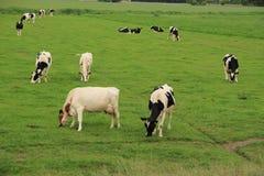 Коровы на сельской местности Стоковое Изображение RF