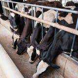 Коровы на стойле амбара в ферме Стоковое фото RF