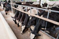 Коровы на стойле амбара в ферме Стоковое Фото