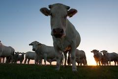 Коровы на сумраке Стоковые Изображения RF
