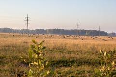 Коровы на сухом выгоне в осени Стоковое Фото