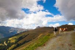 2 коровы на следе в Tyrolean Альпах Стоковые Фото