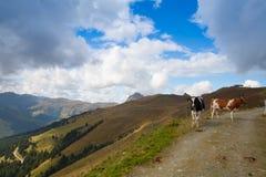 2 коровы на следе в Tyrolean Альпах Стоковое Изображение RF
