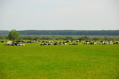 Коровы на траве Стоковая Фотография RF