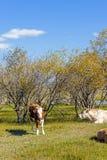 Коровы на траве Стоковые Изображения RF