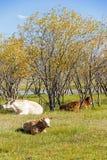 Коровы на траве Стоковая Фотография