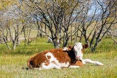 Коровы на траве Стоковые Изображения