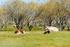 Коровы на траве Стоковое Изображение