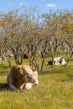 Коровы на траве Стоковое фото RF