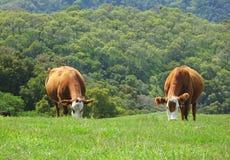 Коровы на травянистом холме Стоковое фото RF