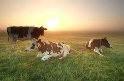 Коровы на туманном выгоне на восходе солнца Стоковые Изображения RF