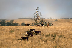 Коровы на туманном утре Стоковые Изображения