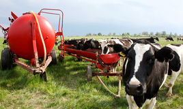 Коровы на луге весны стоковая фотография