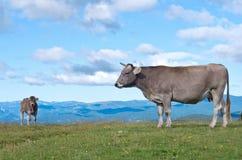 Коровы на луге в лете, Пиренеи Стоковые Фотографии RF