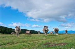 Коровы на луге в лете, Пиренеи Стоковая Фотография RF