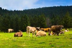 Коровы на луге леса Стоковая Фотография