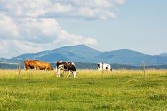 Коровы на луге лета в горах Стоковое Фото