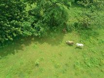 Коровы на луге над взглядом Стоковое Изображение