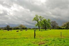 Коровы на луге, Нормандии Стоковое Изображение RF
