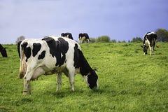 Коровы на луге с зеленой травой Стоковое фото RF