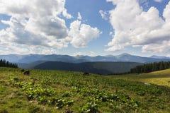 Коровы на луге с рядом гор и голубой предпосылкой облачного неба Стоковая Фотография