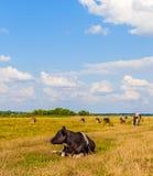 Коровы на луге Стоковое Фото