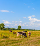 Коровы на луге Стоковые Изображения
