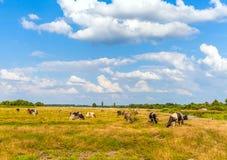 Коровы на луге Стоковая Фотография