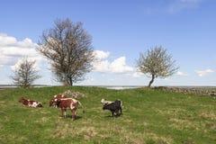 Коровы на луге Стоковое Изображение